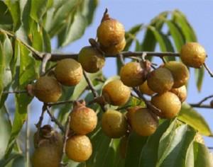 soapnuts1