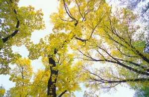 Yellow Autumn Leaves On Trees
