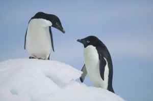 Adelie Penguins Standing on Ice