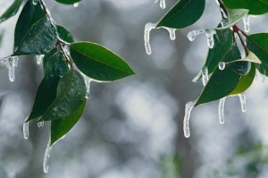 Ice Hanging from Leaves